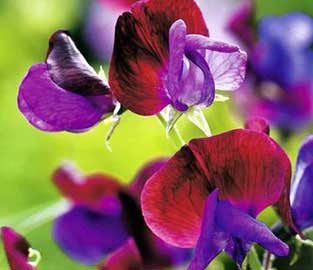 Flower Seeds to Sow in January