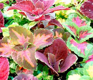 Flower Seeds to Sow in November