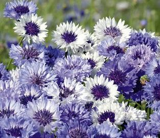 Flower Seeds to sow in September