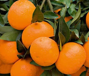 View our Citrus Trees