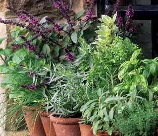 Herb Plants - Yummy