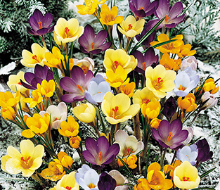 View our Naturalising Bulbs