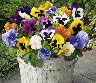 View our colourful Pansy Plants