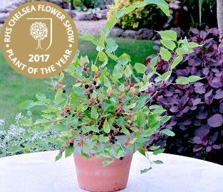 RHS Plant of the Year - Charlotte Russe