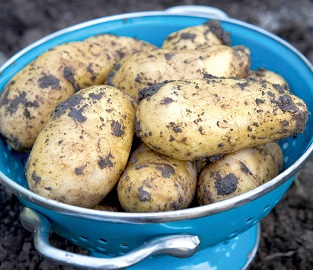View our Seed Potatoes