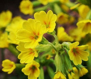 View our Amazing Primrose Plants