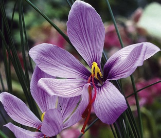View our Saffron Crocus Bulbs