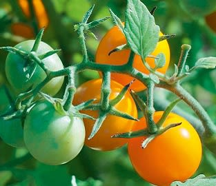 View our Grafted Veg Plants