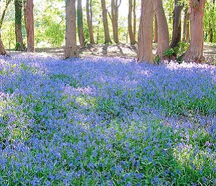 View our wild flower bulbs