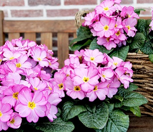 View our Winter Bedding Plants