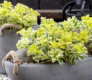 RHS Plant of the Year - Sedum Atlantis