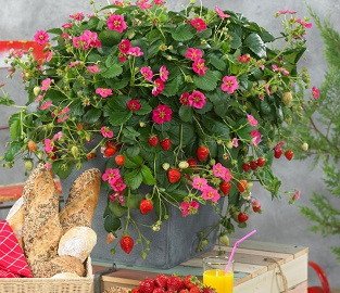 View our range of Summer-long Strawberries