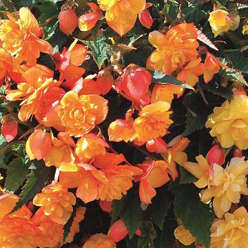 Begonia Plants