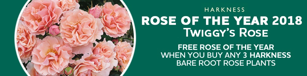 Free Rose of the year when you buy 3 Rose Plants