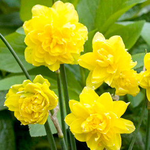 All Daffodils