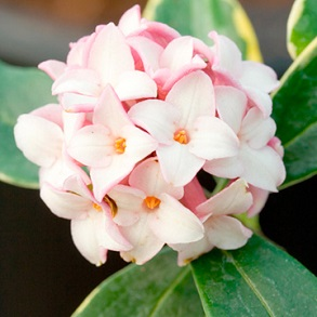 View All Flowering Shrubs