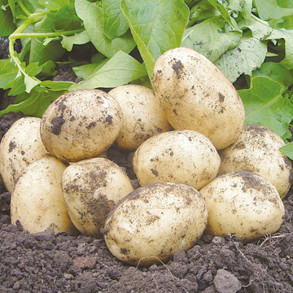 View All Seed Potatoes