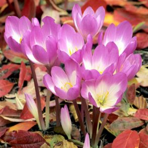 Colchicum Bulb Collection - Save £4