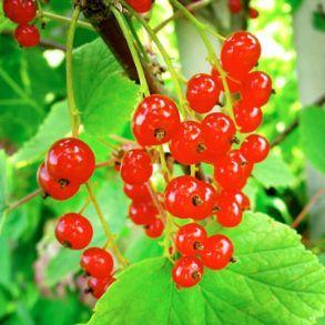 Half Price 2L Redcurrant Plants