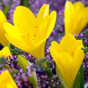 Sternbergia Bulbs - Half Price