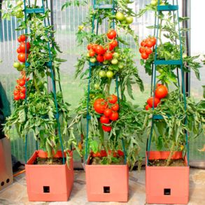 Tomato Success Kit - Save up to 25%