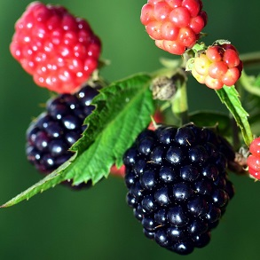 Blackberry Plants