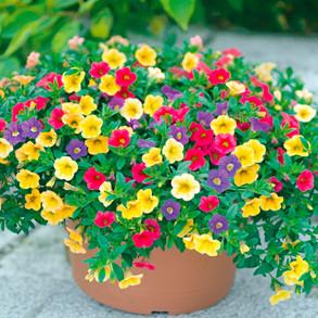 Calibrachoa Plants