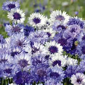 Flowers to Sow in August