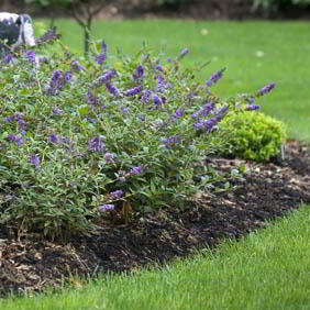 Ground Cover Shrubs