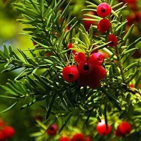 Hedging with Berries