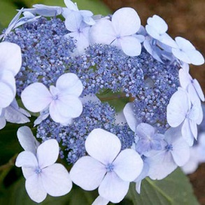 Hydrangea Endless Summer Collection