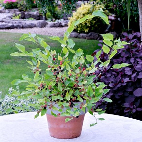 2L Mulberry Bush - 2 for £16