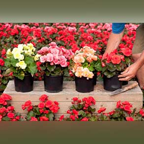 3x 2L Begonias for £10