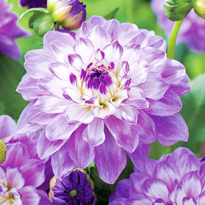 Dahlia Tubers - 3 Packs for £15