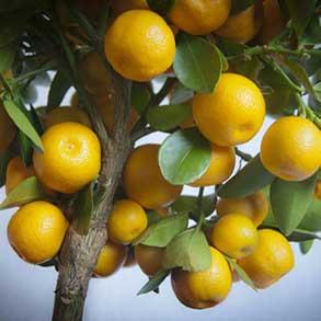 Gourmet Citrus Plants - 2 for £60