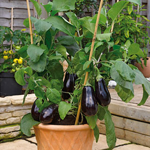 Grafted Veg - 'Must Have' Collection
