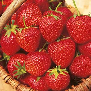 Strawberry Plants - 24 for £18
