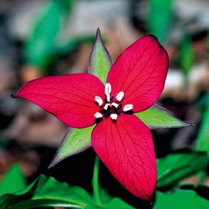 Perennial Plant Flowering Times