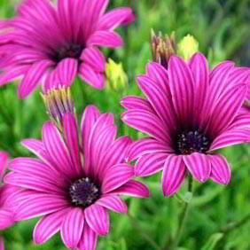Mid Season Flowering Perennials