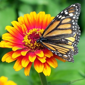 Plants Attractive to Butterflies