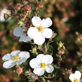 Potentilla Plant