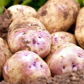 Second Early Seed Potatoes