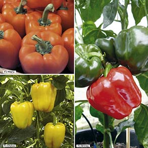 Sweet Pepper Grafted Plants
