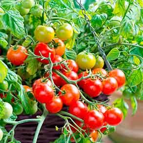 Tumbling Bella - Just £2 Per Plant!