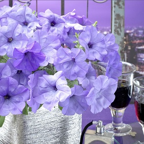 Petunia Evening Scentsation