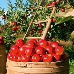Apple Trees Growing Guide