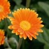 Gerbera Growing Guide