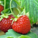 Module Strawberries Growing Guide