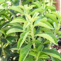 Stevia Growing Guide