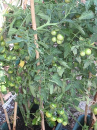Grafted Tomato Conchita Fruits